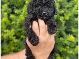 Siyah black toy poodle yavrumuz