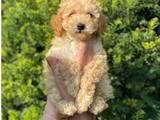 Apricot kayısı renk toy poodle bebeğimiz