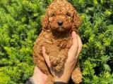 Red brown toy poodle erkek bebeğimiz