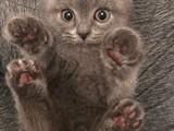 4 aylık erkek Scottish kedime acil yuva arıyorum.