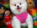 Güzeller güzeli oyuncu beyaz Pomeranian Boo yavrumuz