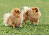 Ayı surat kalite Pomeranian boo