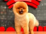 Teddy bear yarışma düzeyi pomeranian boo yavrularımız