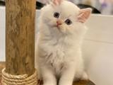Red point Longhair british shorthair yavrumuz