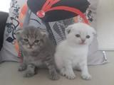 1 aylık , 2 tane Scottish Fold yavru