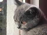 British shorthair erkek 4 aylık yavru