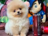 Gülen tip Pomeranian Boo