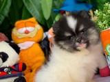 Show Kalite Sağlık Garantili Ayıcı Yüz Pomeranian Boo