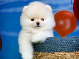 Yurtdışı üretim belgeli safkan Pomeranian boo yavrularımız