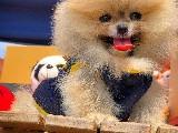 Muhteşem Mini Boy Ender Renk Pomeranian Boo