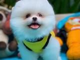 Kar Beyazı Safkan Muhteşem Güzellikte Pomeranian Boo Yavruları