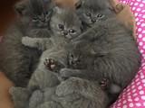 Scotish fold kendi kedimin yavruları