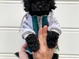 Black siyah inci toy poodle yavrularımız