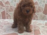 Red brown kizil toy poodle erkek yavrumuz