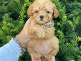 Teacup mini apricot poodle bebeğimiz