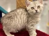 Silver tabby british shorthair erkek yavrumuz