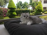Küçük arslan Scottish straight long hair çinçilla renkli erkek kedi