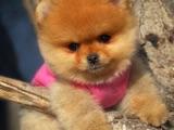 Güzeller güzeli sevimli Pomeranian Boo yavrumuz