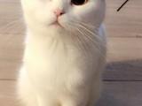 10 Aylık Erkek Kırık Kulak Scottish Fold beyaz