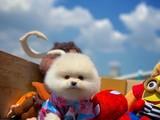 """Yeni gelen Pomeranian yavrumuz """"zode"""""""
