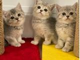Blue golden ve tabby british shorthair bebeklerimiz