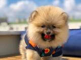 Irk ve sağlık garantili eu pasaportlu Pomeranian
