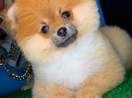 Gülenyüz sevimli Pomeranian Boo
