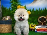 Kartanem Pomeranian Boo yavrumuz