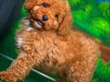 Ender güzellikte çok oyuncu ve Zeki Red Toy Poodle yavrumuz
