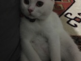 british shorthair yavrum