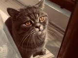 British shorthair oğlumuza dişi kedi arıyoruz