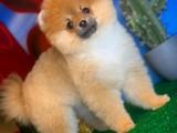 En iyi kalite Pomeranian boo