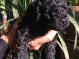 Black poodle yavrularımız ırk ve sağlık garantili