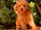 En Fazla Seçenek ile Toy Poodle Yavrular