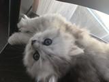 Küçük arslan Scottish straight long hair erkek kedi