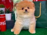 Güzel mi güzel Çok sevimli akıllı be oyuncu Pomeranian Boo yavrumuz