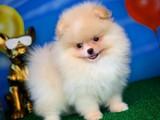 Oyuncu çılgın güzellik Pomeranian Boo yavrumuz