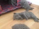 British Shorthair yavruları 55 günlük