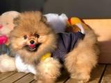 Ayıcık Surat Büyümeyen Irk Pomeranian Boo Yavruları