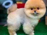 Yarışma düzeyinde Pomeranian Boo yavrularımız