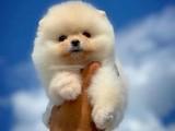 Her Hafta Güncellenen Safkan TeddyFace Pomeranian Boo Yavrular