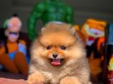 En iyi kalite yavrularımız Pomeranian boo