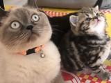 Dişi 2 aylık brıtısh Shorthair birbirinden şirin oyuncu kedilerimiz