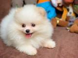 Güzeller güzeli Sevimli Yavrumuz Pomeranian Boo