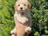 Apricot toy poodle erkek bebek