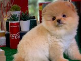 Orjinal Üst Segment Teddy Face Pomeranian Boo Yavru