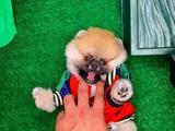 Güzeller güzeli Pomeranian Boo