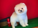 Birbirinden Güzel Partycolor Pomeranian Boo yavrumuz