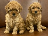 Orjinal toy poodle yavrularımız
