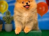 Kral benim diyen Pomeranian Boo yavrumuz